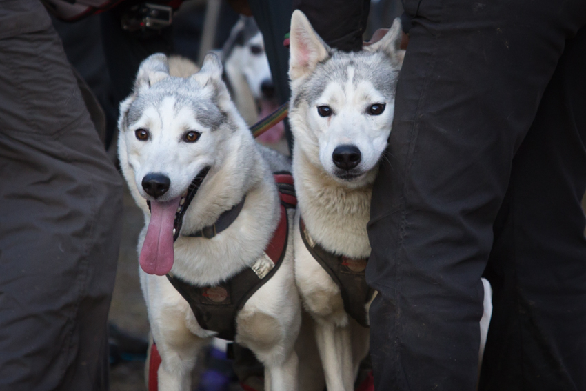 Aviemore dog sled race_©dapplephotography_001-2